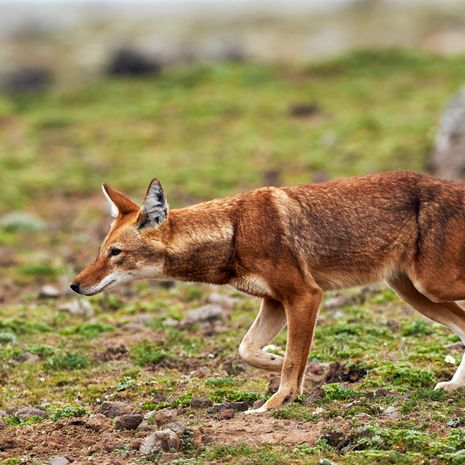 Ethiopian wolf, Simien Mountains National Park