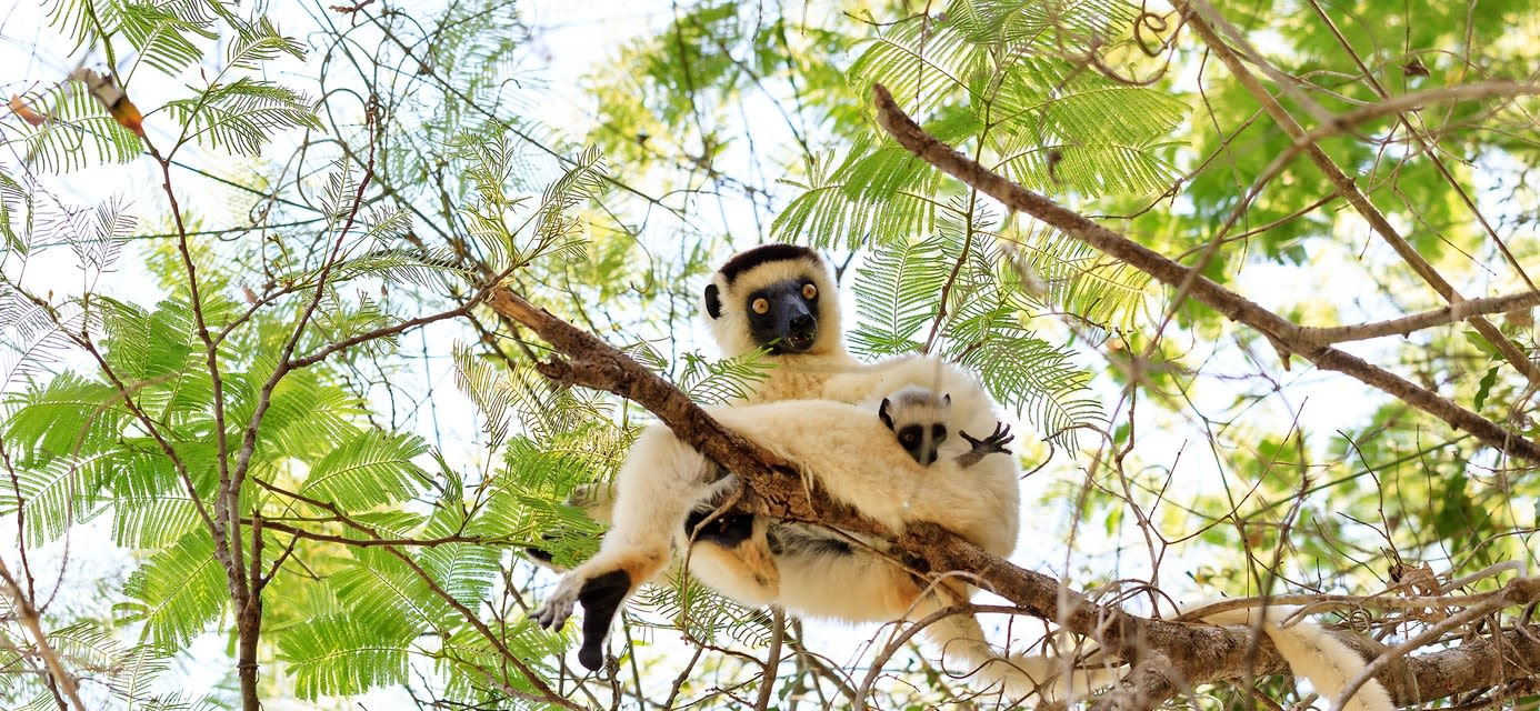 Verreaux's sifaka, Zombitse National Park