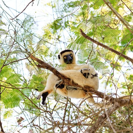 Verreaux's sifaka, Zombitse National Par
