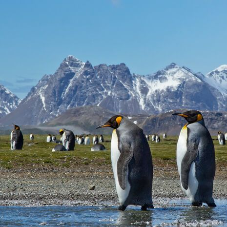 King penguins, South Georgia