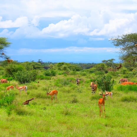 Wild Impalas grazing in Samburu National Park