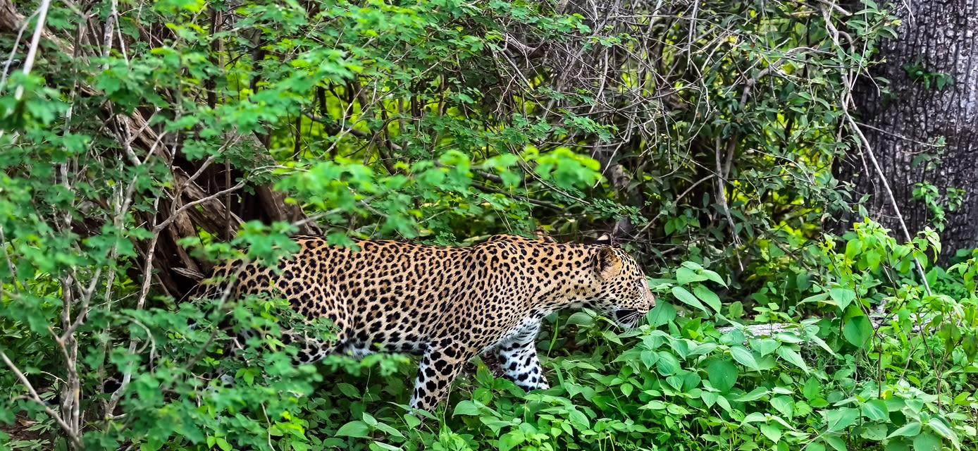 India: Tigers and Leopards, private travel