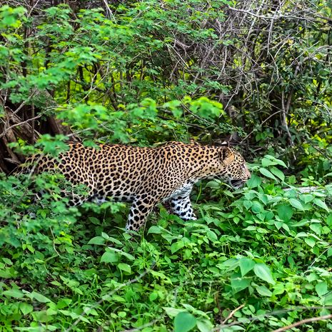 Leopard hunting in Tadoba-Andhari National Park