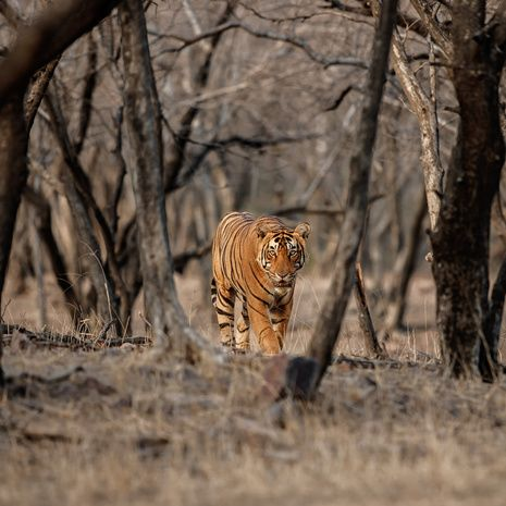 Tiger roaming through forest in India