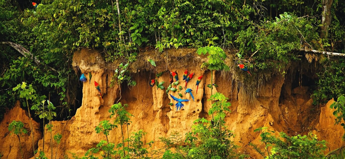 Parrots on the clay cliffs of River Tambopata, Peru