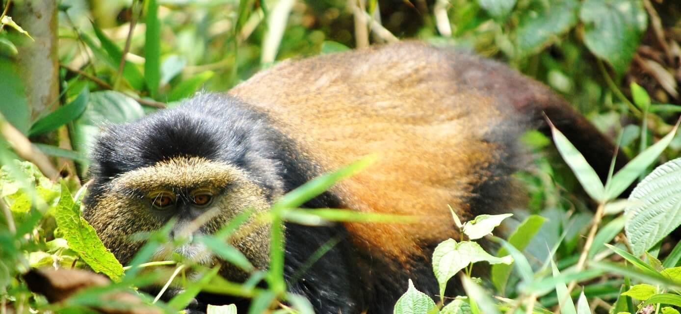 Golden Monkey, Rwanda