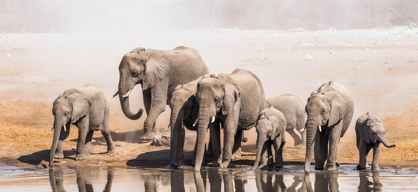 Elephants drinking, Etosha National Park