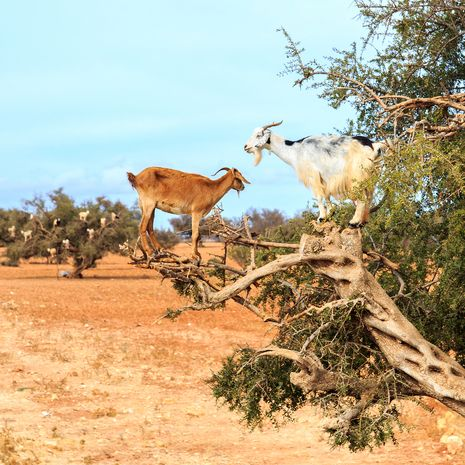Goats feeding on an Argan Tree, Morocco