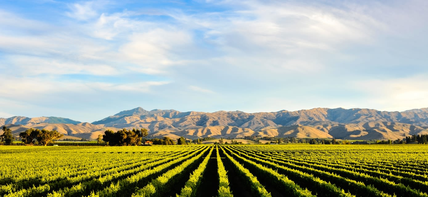 Vineyard, Blenheim, South Island