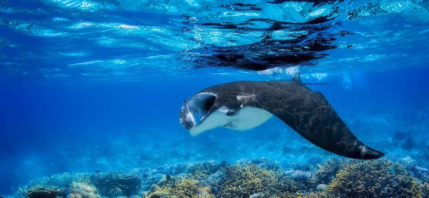 Manta Ray, Great Barrier Reef