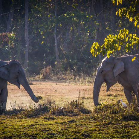 Elephants at Kaziranga Park, Assam, India