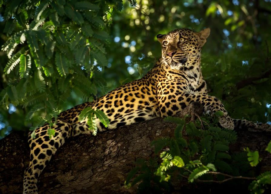 Leopard, Zambia, Africa