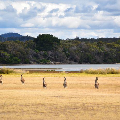 Kangaroos, Tasmania