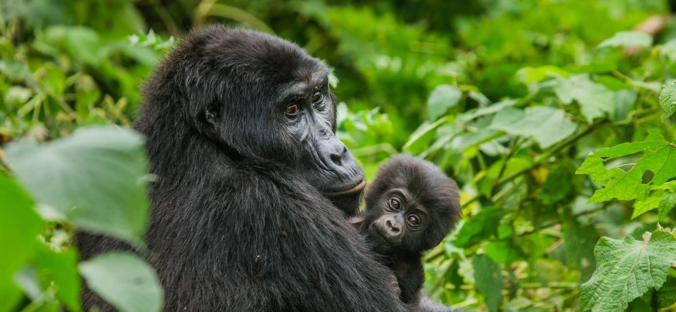 Mountain gorillas, Bwindi Impenetrable Forest National Park, Uganda