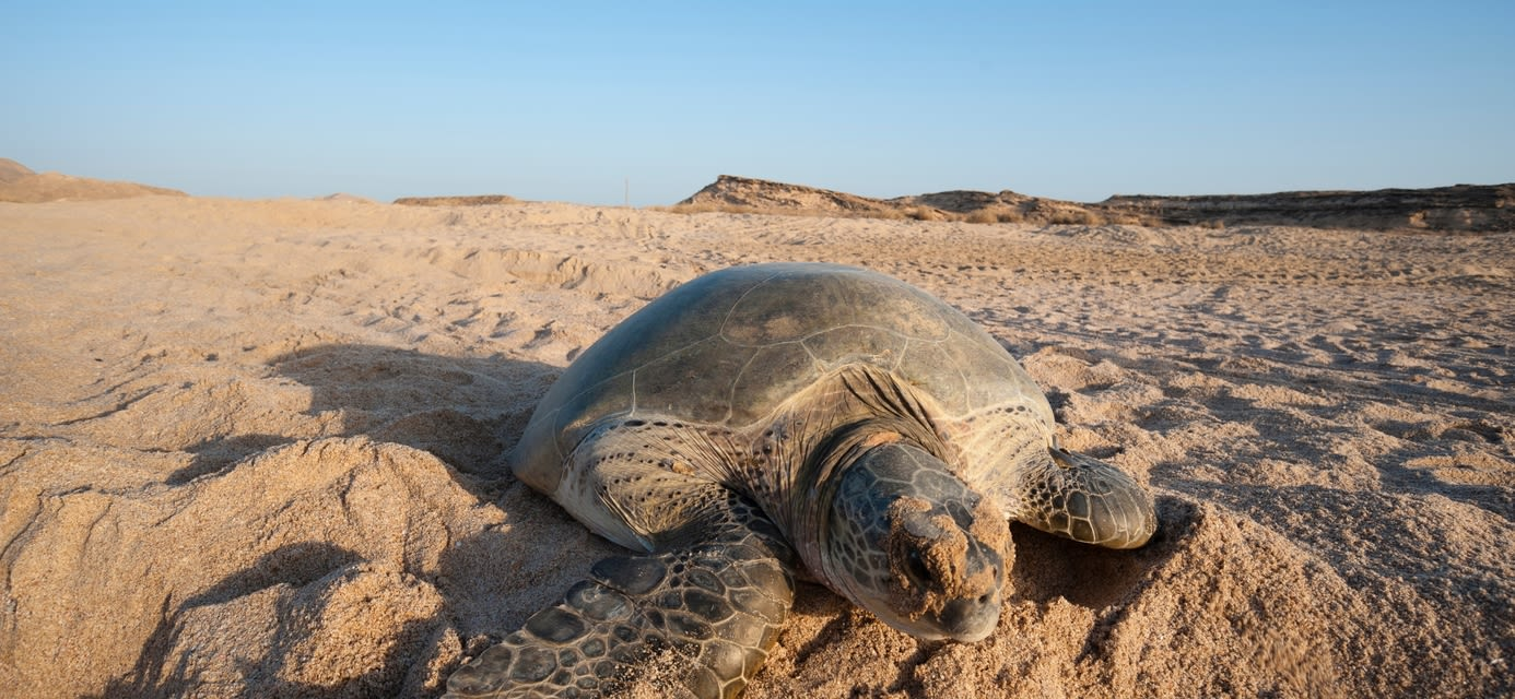 Green turtle, Ras Al Jinz, Oman