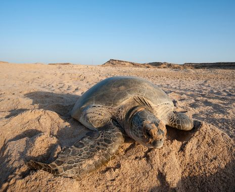 Green turtle at Ras Al Jinz, Oman