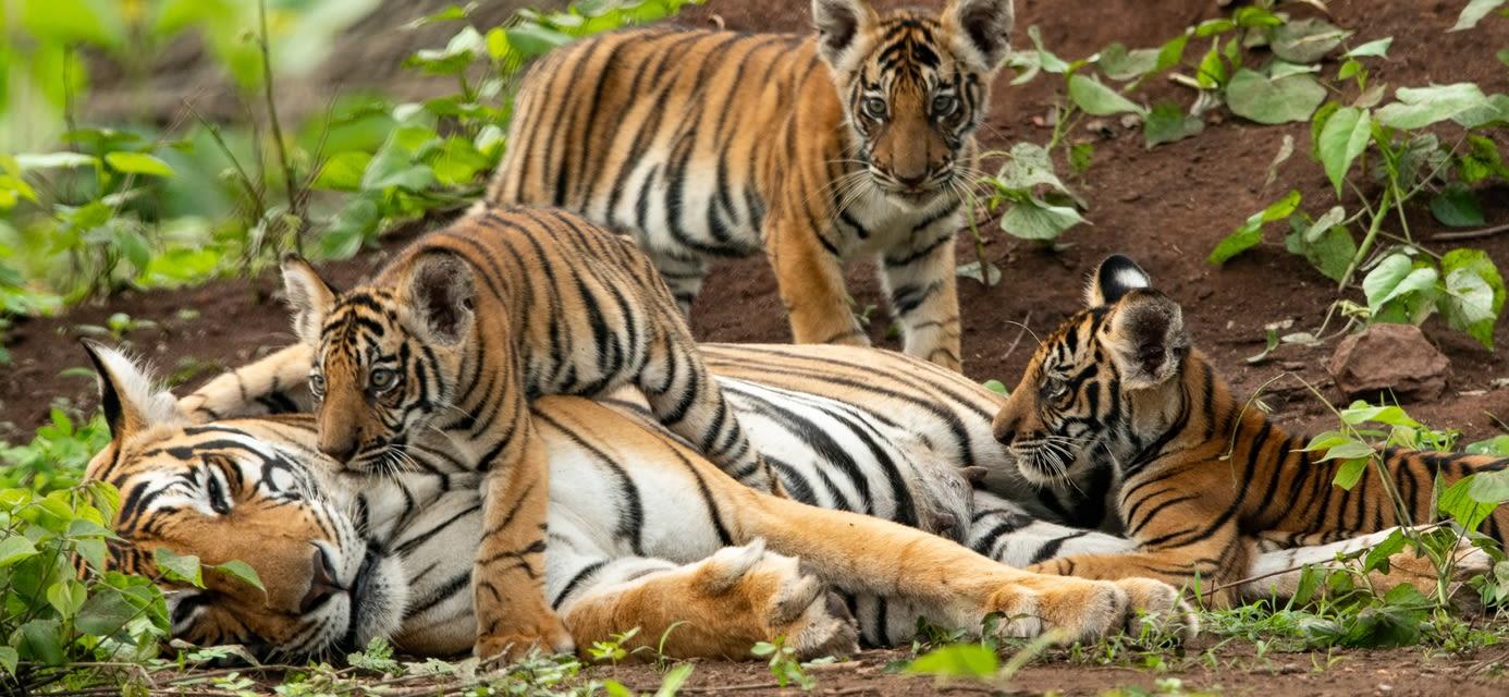 Taj & Tigers Family Adventure