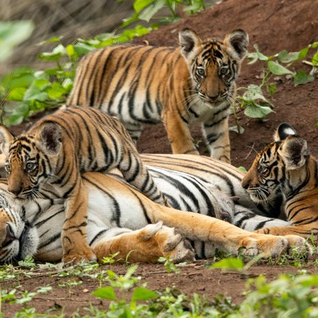 Taj & Tigers Family Adventure