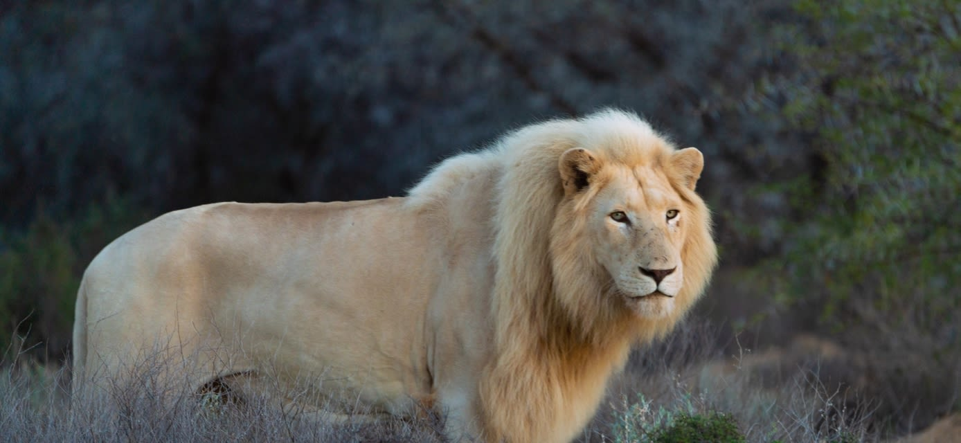 White lion, Sanbona Game Reserve, South Africa