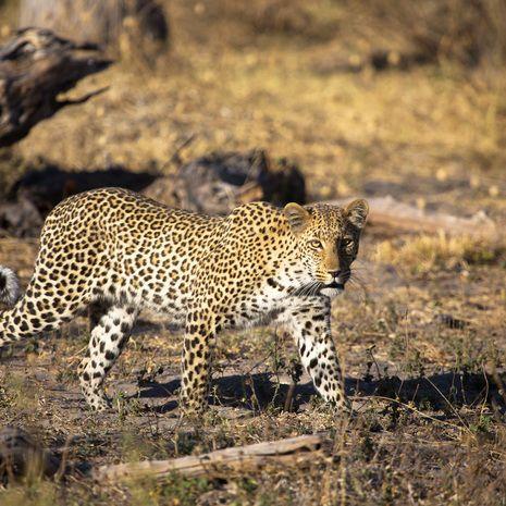 Leopard, Linyanti, Botswana