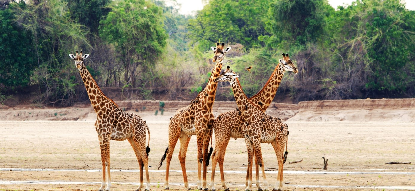 Thornicroft Giraffe, South Luangwa National Park, Zambia