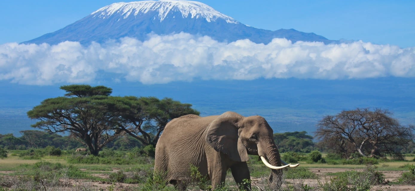 Elephant with snow covered Mount Kilimanjaro in the background, Kenya