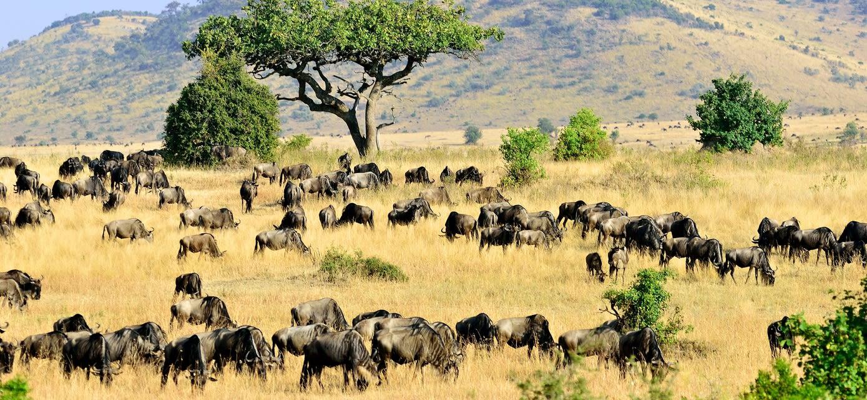 Wildebeest, Masai Mara, Kenya