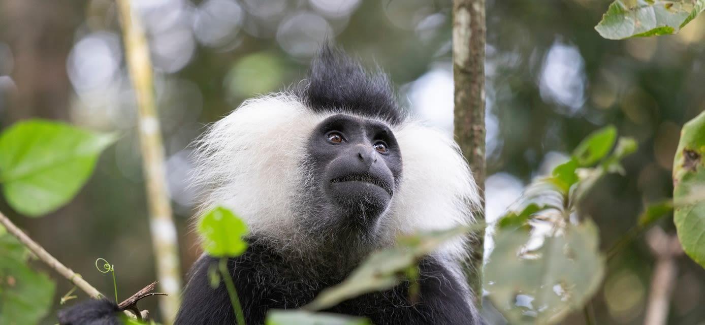 Colobus monkey, Rwand