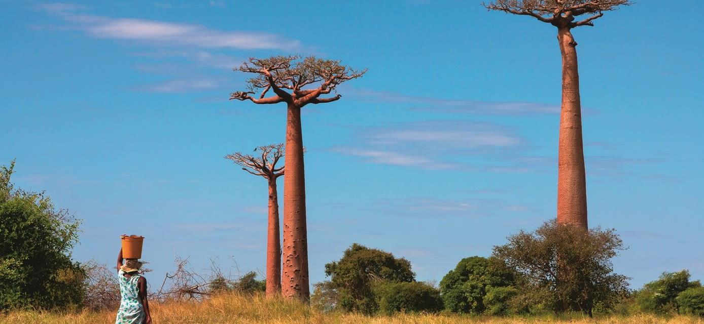 Baobab trees, Ifaty, Madagascar