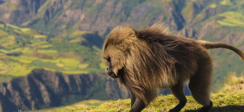 Gelada Baboons in Semien Mountains