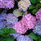 Learn To Care For Hydrangeas, Roses At Darien Community Association