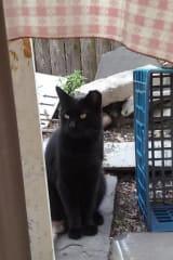 Owner Seeks Help Finding Leroy, Black Cat From Mount Vernon