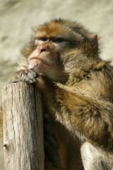 Monkeys, Humans Both Monkey Around Less With Age
