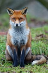 Police Kill Fox That Attacked Stamford Woman