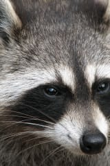 Bridgeport Man Bitten By Rabid Raccoon
