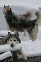 Weston Siberian Huskies Finally Find Time In Snow
