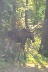 Brand-New Moose Sighting Reported, This One In Ossining