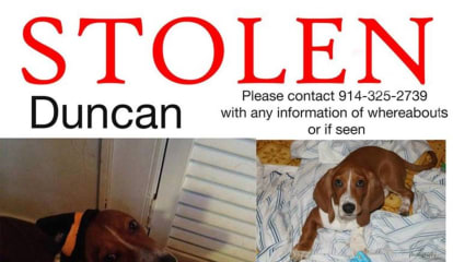 3-Year-Old Basset Hound Still Missing From New Rochelle Home