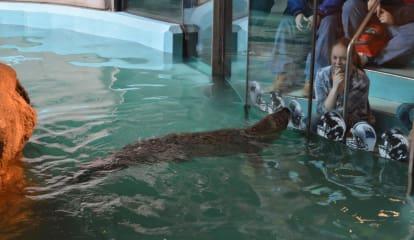 Maritime Aquarium's Orange The Seal Backs Carolina In Super Bowl