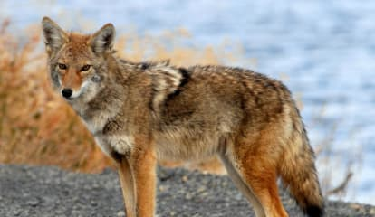 Residents Battling Plan To Trap Coyotes In New Castle