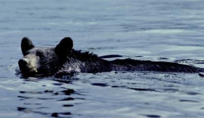 Bruin Spotted In Peekskill Proceeds To Swim Toward Bear Mountain