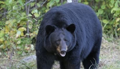 Pair Of New Black Bear Sightings Reported In Northern Westchester