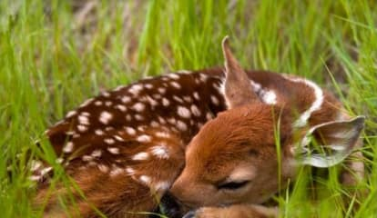 Fawn Spotting Tops North Castle Police Blotter