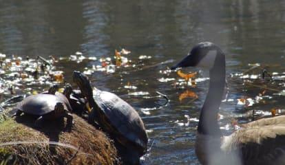 Learn About Turtles During Walk At Yorktown's Sylvan Glen