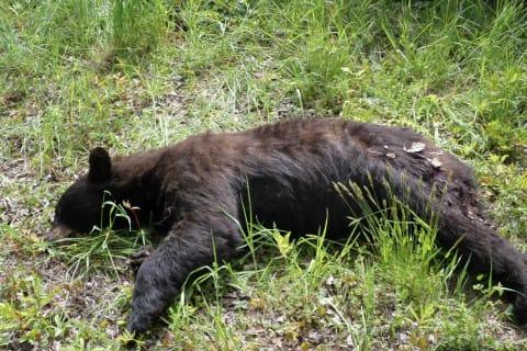Connecticut Environmental Police Seek Info In Shooting Death Of Bear