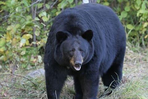 Pair Of New Black Bear Sightings Reported In Bedford