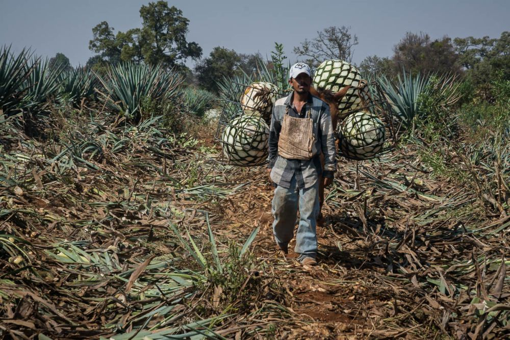 Jimadores work tequila fields in Arandas, Jalisco, Mexico