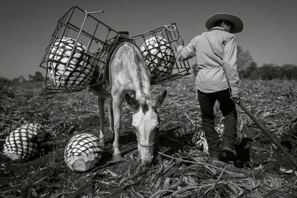 A jimedor unloads agave piñas from a horse in Arrandas, Jalisco, Mexico.