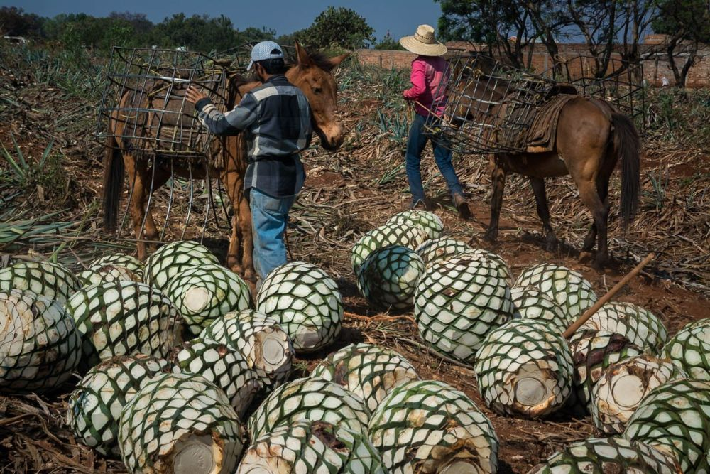 Jimadores unloading horses of their agave piñas in an agave field in Arrandas, Jalisco, Mexico.