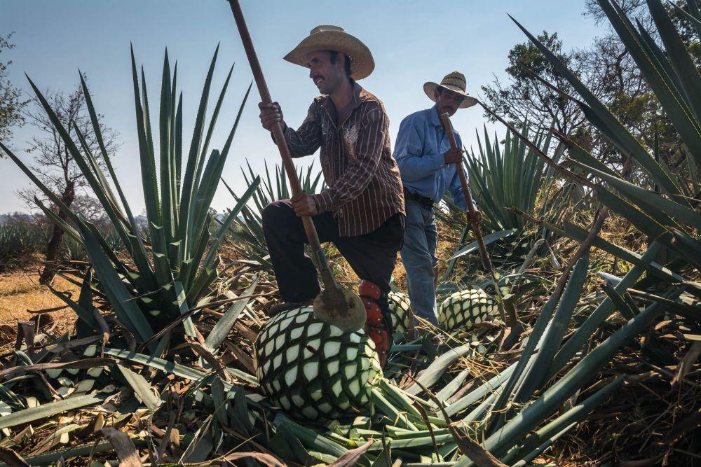 Jimadores jimar agave piñas for Tequila Cazadores in Arrandas, Jalisco, Mexico.